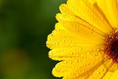 Yellow gerber petals Royalty Free Stock Photo