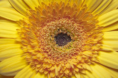 Yellow gerbera Royalty Free Stock Photos