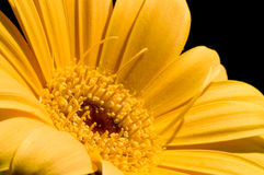 Yellow gerbera Stock Photo