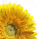 Yellow Gerbera. In bright winter sunlight Royalty Free Stock Photography