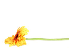 Yellow gerbera. Isolated on white background Royalty Free Stock Image