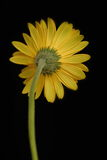 Yellow Gerbera. Against black background royalty free stock images