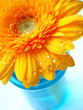 Yellow gerbera. Perspective shot of yellow gerbera on white background in blue vase Stock Image