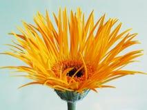 Yellow gerbera. Unusual thin petals on a gerbera daisy Stock Image