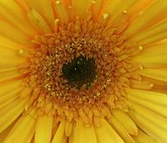 Yellow gerbera Royalty Free Stock Images