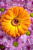 Yellow gerbera. A yellow gerbera with pink daisies Royalty Free Stock Images