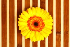Yellow gerbera Royalty Free Stock Image