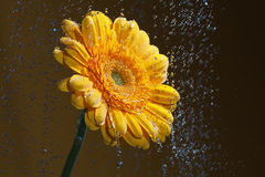 Yellow gerbera. Royalty Free Stock Photography