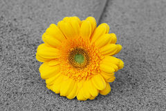 Yellow gerbera. Stock Images
