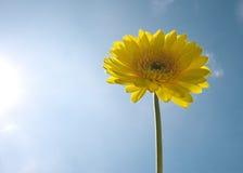 Yellow Gerbera Royalty Free Stock Images