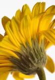 Yellow Gerbera Stock Image