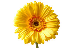 Yellow gerbera. Close up isolated on white background Royalty Free Stock Image