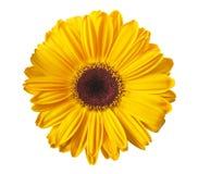 Free Yellow Gerbera Royalty Free Stock Image - 53921696