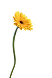 Yellow gerbera. Flower royalty free stock photography