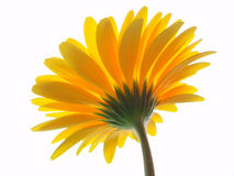 Yellow gerbera Stock Photography