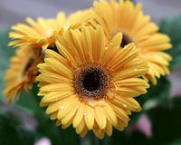 Yellow Gerbera. With Droplets of Dew Stock Image