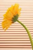 Yellow gerbera. Stock Images
