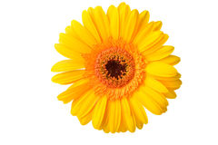 Yellow Gerbera Royalty Free Stock Photography