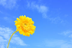 A yellow  gerbera against the sky background Stock Photos