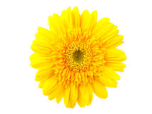 Yellow gerbera against white Royalty Free Stock Images