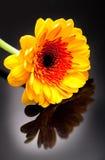 Yellow gerbera Stock Images