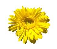 Yellow gerbera on blue sky Royalty Free Stock Photography