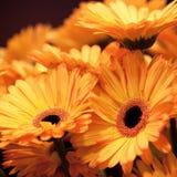 Yellow gerbera. Bouquet of big yellow gerberas royalty free stock images