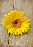 Yellow gerbera close-up Royalty Free Stock Image