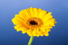 Yellow gerbera Royalty Free Stock Photo