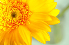 Yellow gerbera closeup. A beautiful yellow gerbera against the background of green plants royalty free stock images