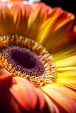 Yellow gerbera closeup with drops of dew. Stock Photo