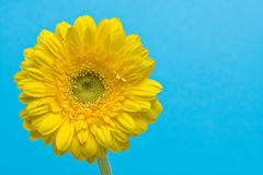 Yellow gerbera on cyan background. Close up of beautiful yellow gerbera on cyan background royalty free stock images
