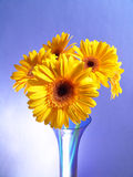 Yellow Gerbera Daisies. In a blue vase with a blue background royalty free stock photo