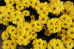 Yellow gerbera daisies. Background of yellow daisies Royalty Free Stock Image