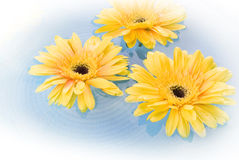 Yellow gerbera Daisies. Floating on the water Royalty Free Stock Image
