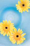 Yellow gerbera Daisies. Floating on the water Royalty Free Stock Photography