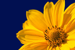 Yellow Gerbera Daisy Royalty Free Stock Image