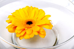 Yellow Gerbera Daisy. Floating in glass bowl Royalty Free Stock Photos
