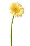 Yellow gerbera daisy Royalty Free Stock Photos