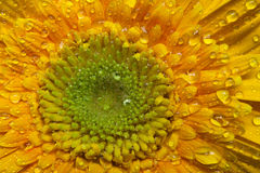 Yellow gerbera daisy Royalty Free Stock Images