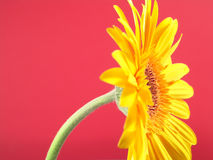 Yellow Gerbera Daisy. Close up with a red background stock photo