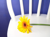 Yellow Gerbera Daisy. On a chair with a blue background royalty free stock photo