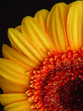 Yellow Gerbera Daisy. With black background Royalty Free Stock Photography