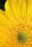 Yellow gerbera daisy. Details on yellow gerbera daisy Stock Photography