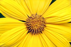 Yellow Gerbera Daisy Background Stock Photo