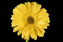 Yellow Gerbera Daisy Black Background Stock Image
