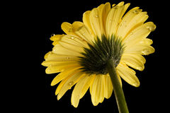 Yellow Gerbera Daisy Black Background with droplet Stock Photos