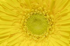 Yellow gerbera daisy close up Stock Photos