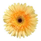 Yellow gerbera Stock Photography