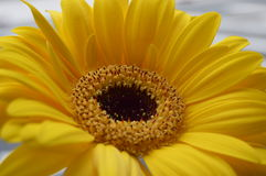 A yellow gerbera daisy Royalty Free Stock Photography